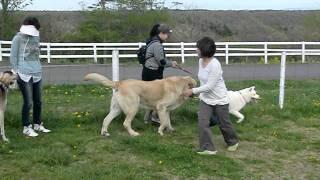 スパニッシュマスティフの愛犬マックスが那須に あそびに行ってきた動画...