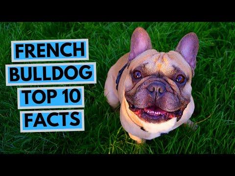 French Bulldog - TOP 10 Interesting Facts