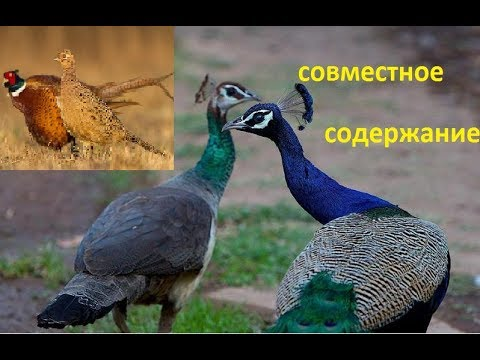 как держать фазанов