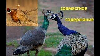 Павлины и фазаны,как содержать вместе?