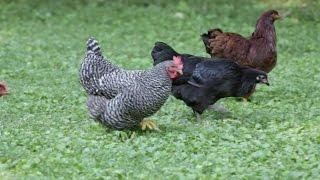 protect backyard chickens from avian flu