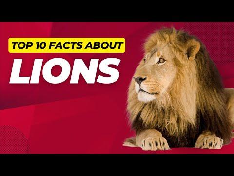 Lion Facts for Kids Children Lions 101 #Lions #Africa #Lionesses