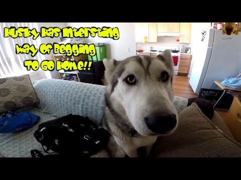 Download Youtube: Asking My Husky