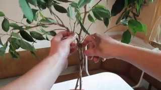формируем форму ствола фикуса. Form the shape of the trunk of ficus