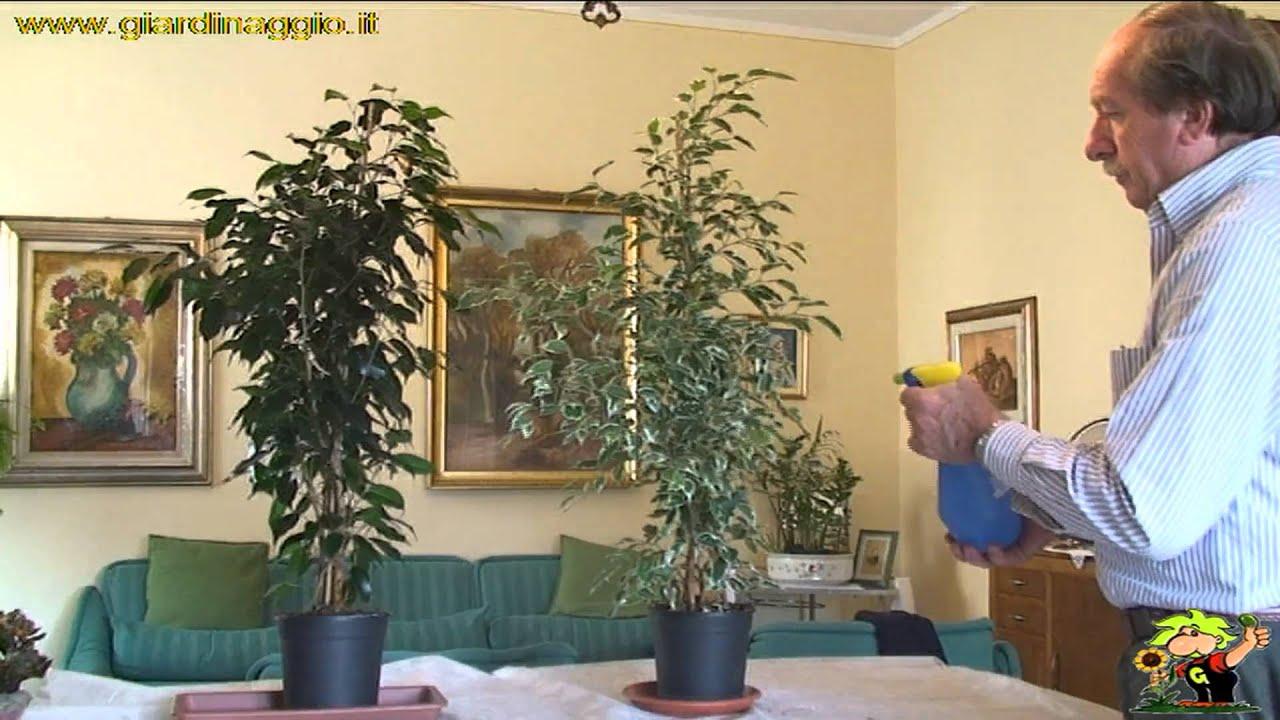 Potare Il Ficus Elastica coltivazione del ficus
