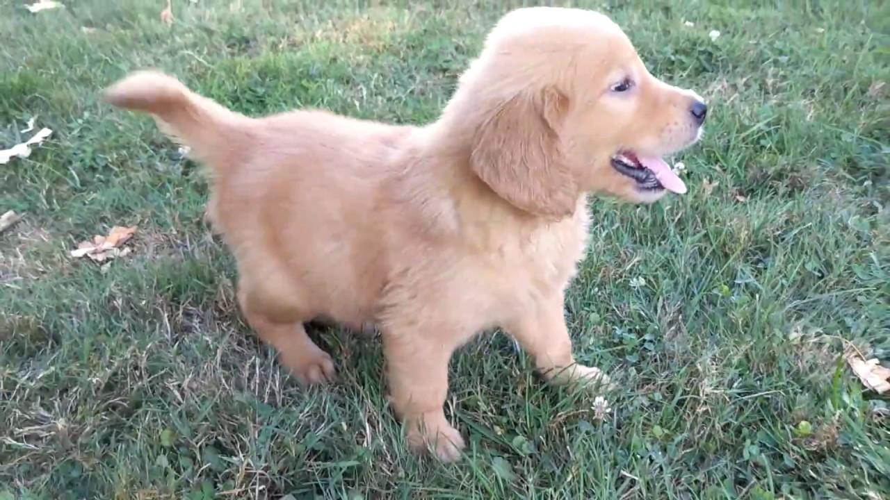 Red Retriever Puppy - Goldenacresdogs com