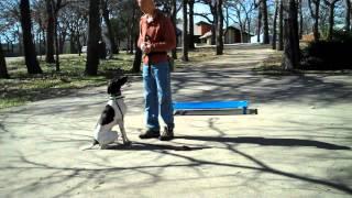 Dallas Dog Training | Baci - German Short Hair Pointer | Redeeming Dogs | Tod Mcvicker Trainer