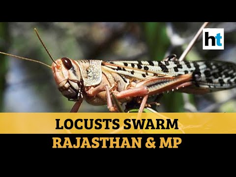 Watch: Crop-eating Locusts Wreak Havoc In Rajasthan & MP