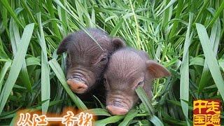 系列片地标物产(2):从江——香猪  【走遍中国 20151027】720P