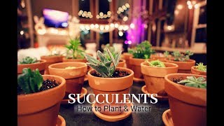 Succulent Tips for Beginners, How to Plant Succulents, How to Water Succulents
