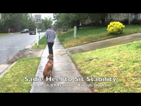 "5yo Vizsla ""Sadie"" Before and After Video - Amazing Vizsla dog training Raleigh Durham"