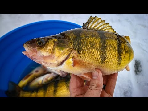 JUMBO perch fire-up when the sun comes out (Devils Lake, ND)