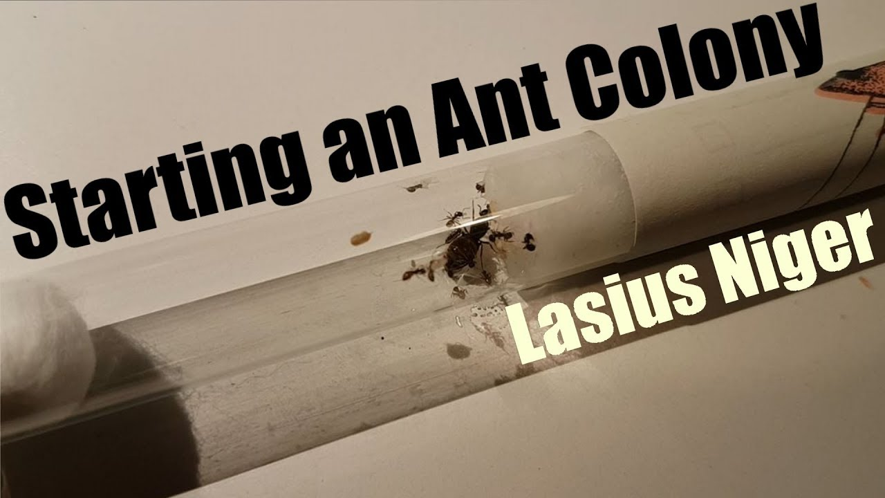 Starting A Lasius Niger Ant Colony