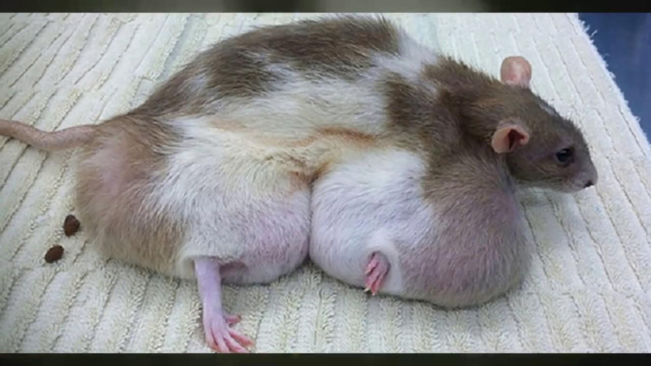 Эксперимент над крысам