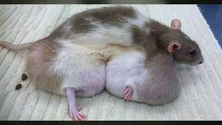 Эксперименты над крысами. Что-то пошло не так! Познавательное, discovery документальный