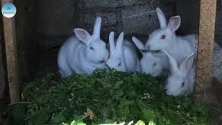 Yeni Zelanda Tavşanları | Kırmızı Gözlü Beyaz Tavşanlar