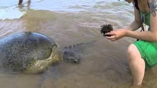 Морские черепахи на Шри-Ланке