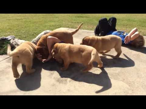Dogue de Bordeaux Pups 8 weeks old