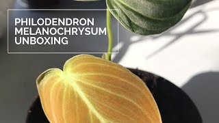 Rare Houseplant Unboxing | Philodendron Melanochrysum Black Gold ft. Philodendron Micans