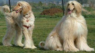 Revisión del perro de afgano