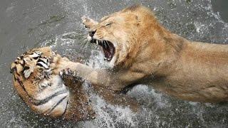 ЛЕВ ПРОТИВ ТИГРА. CМЕРТЕЛЬНАЯ СХВАТКА. КТО ПОБЕДИТ?(СУМАСШЕДШАЯ БИТВА ЖИВОТНЫХ СНЯТАЯ НА КАМЕРУ. Кто же одержит победу Лев или Тигр? Кто сильнее? Узнаешь в этом..., 2016-06-06T15:42:53.000Z)