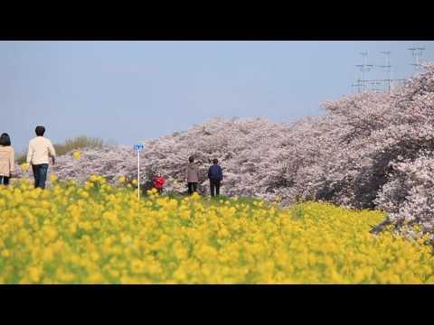 Kumagaya Cherry Blossom