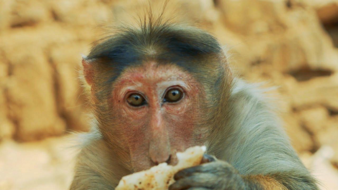 Monkey Close Up HD Video eating Banana Food.Indian Bandar