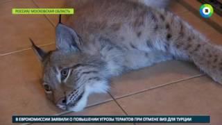 Москвичка с маленьким ребенком завела дома рысь