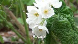 北アルプスの林縁に咲く高山植物