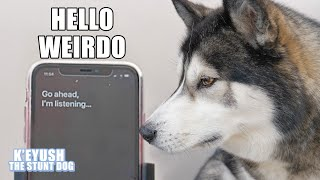 Siri Translates What My HUSKY Says! It Understands Him!