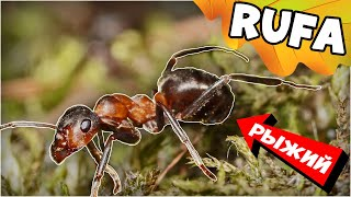 Рыжий лесной муравей Formica Rufa - Санитар леса