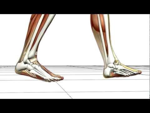 Walking Biomechanics by Union Orthotics & Pedorthics