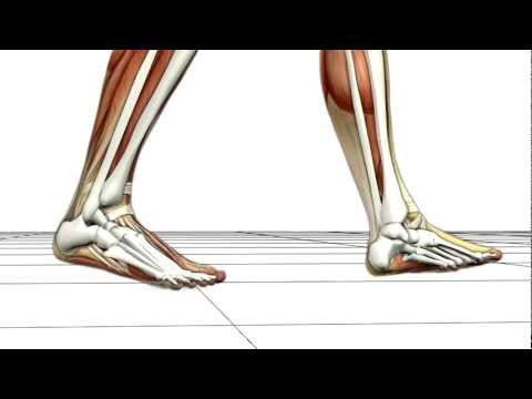 Walking Biomechanics by Union Orthotics & Pedorthics