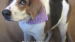 Cooper - гончая собака с коротким туловищем