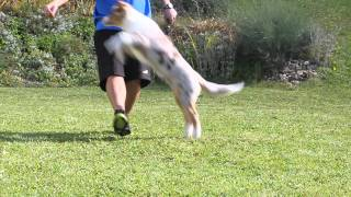 Australian Shepherd Red Merle Puppy 4 Months Tricks
