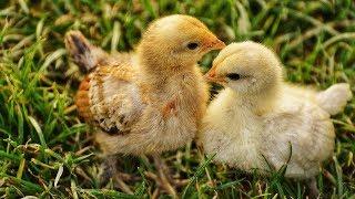 Anak Ayam Tek Kotek Kotek | Lagu Anak Indonesia Populer