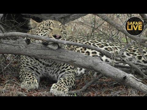 safariLIVE - Sunrise Safari - November 10, 2018