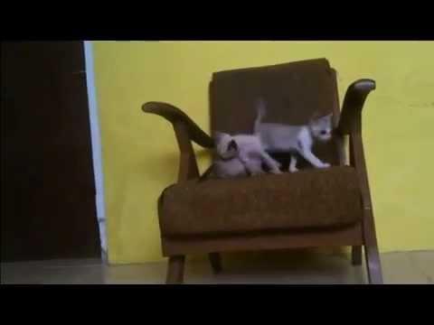 Anakan Kucing Siam Dan Kucing Kampung Youtube