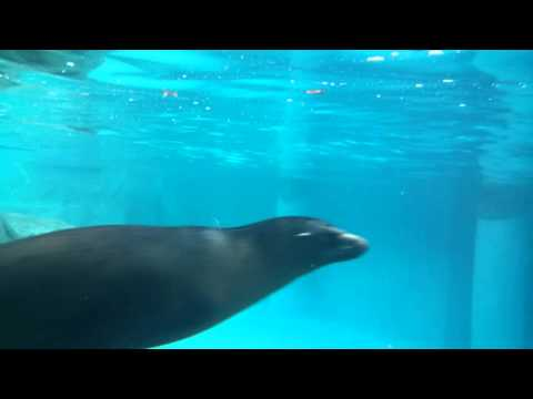 Turtleback zoo seal in pool part 1/2