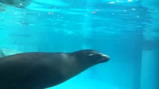 Turtleback zoo seal in pool part 1/2