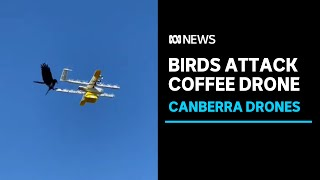 Birds attacking drone food deliveries in Canberra, as lockdown drone deliveries spike | ABC News