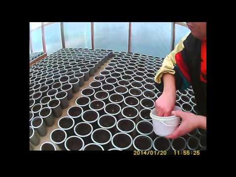 видео: Как сажать и выращивать огурец высаживаем огурец.