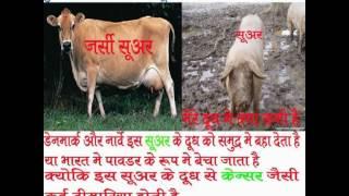 don't drink jarsi cow milk By Rajiv Dixit