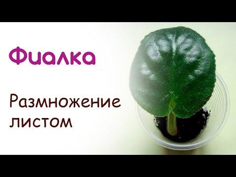 Лист фиалки - размножение фиалок листом