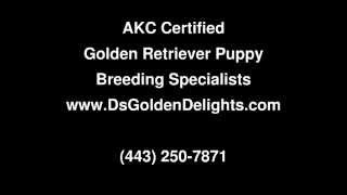 Golden Retriever Puppy Breeder New York