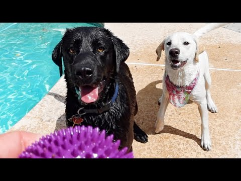 Dog Dad Surprises His Puppy | POOL PARTY!!!