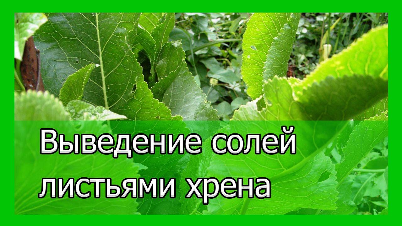 Лечение суставов листьями хрена: воздействие растения и рецепты народной медицины картинки