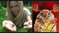 MAY BUG - COCKCHAFER - Huge Buzzy Spring bug