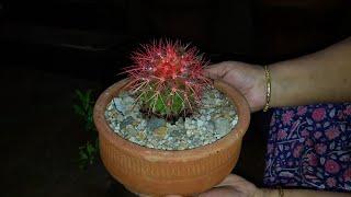 How to Repot Cactus Plant || Cactus Plant  || Fun Gardening || 10 Nov, 2017