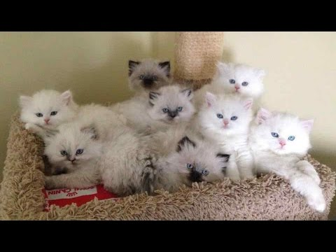 Himalayan Cat ~ Cute Himalayan Cat and Kittens